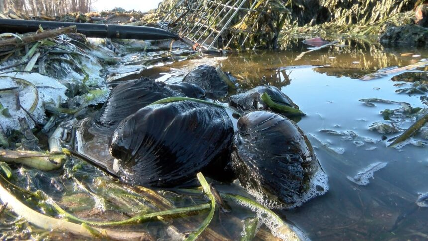 Local research aims to help curb the decrease in mussel population - WXOW.com