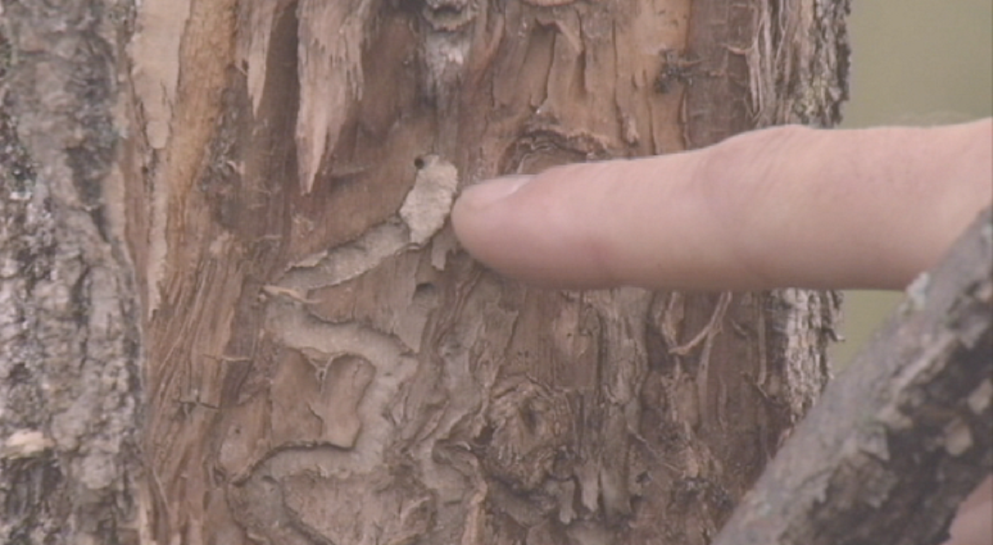 Tree infested with EAB