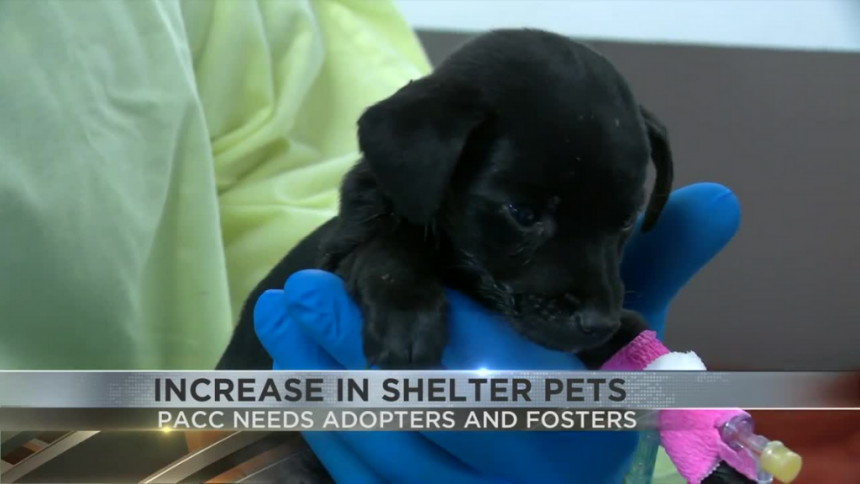 PACC in need of adopters, fosterers due to increase in shelter pets