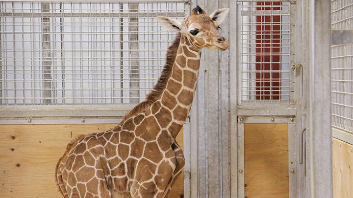 Des Moines Blank Park Zoo has new baby giraffe