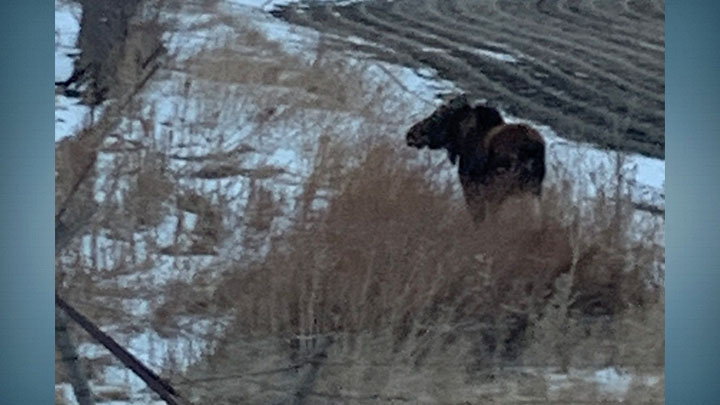 Moose in Plymouth County, IA (1)