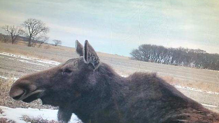 Moose in Plymouth County, IA (2)