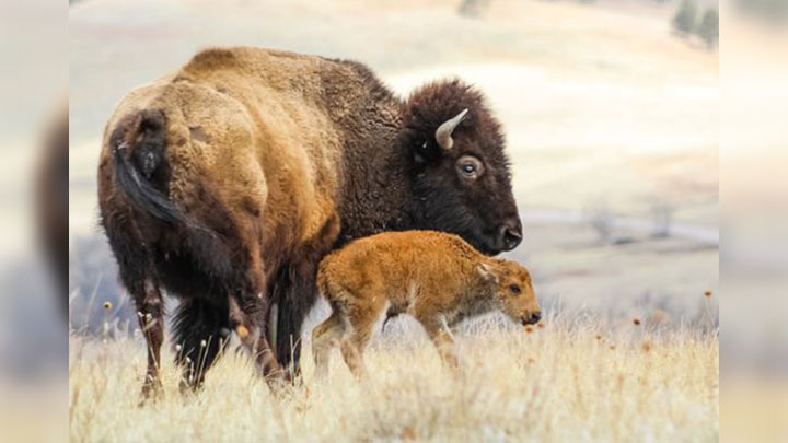 Baby bison calf at SD's Custer State Park