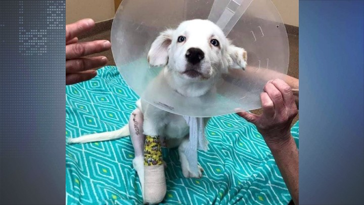 Golden Retriever puppy recovering from surgery after animal abuse case