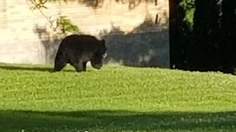 Bear in Platteville